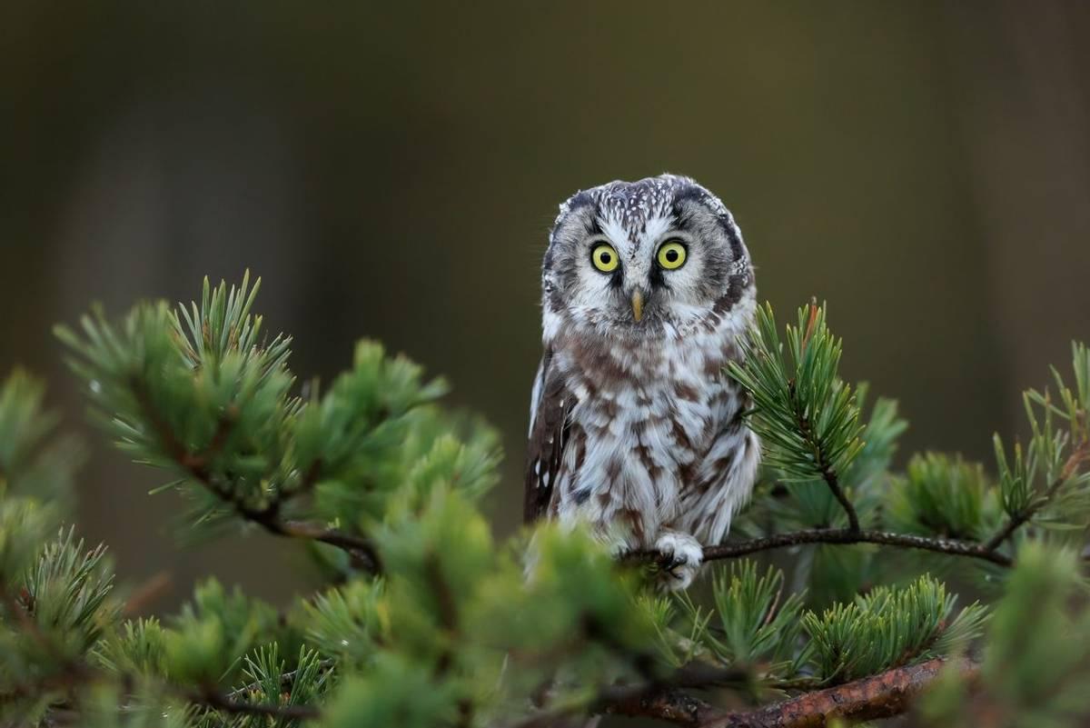 Tengmalm's Owl shutterstock_1199498674.jpg