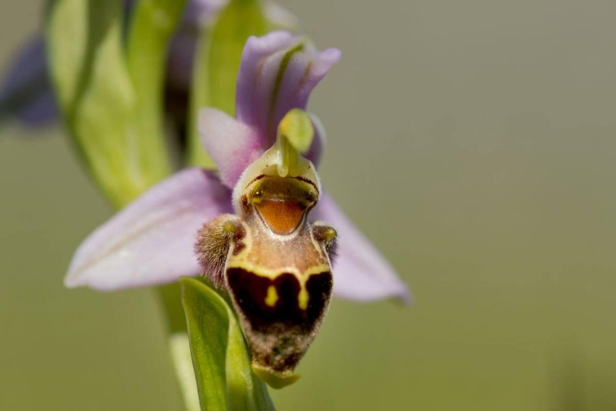 Ophrys lapethica shutterstock_1678719037.jpg