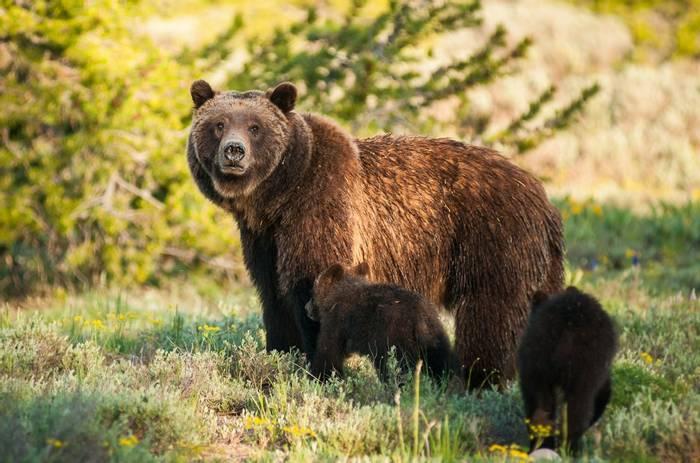 Grizzly-Bear,-Canada-shutterstock_1197182005.jpg