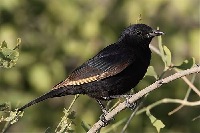 Tristram's Grackle (Chris-Ward)