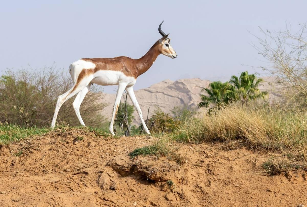Dama-Gazelle,-Tunisia-shutterstock_1442689997.jpg