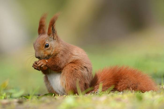 Red Squirrel, Jersey