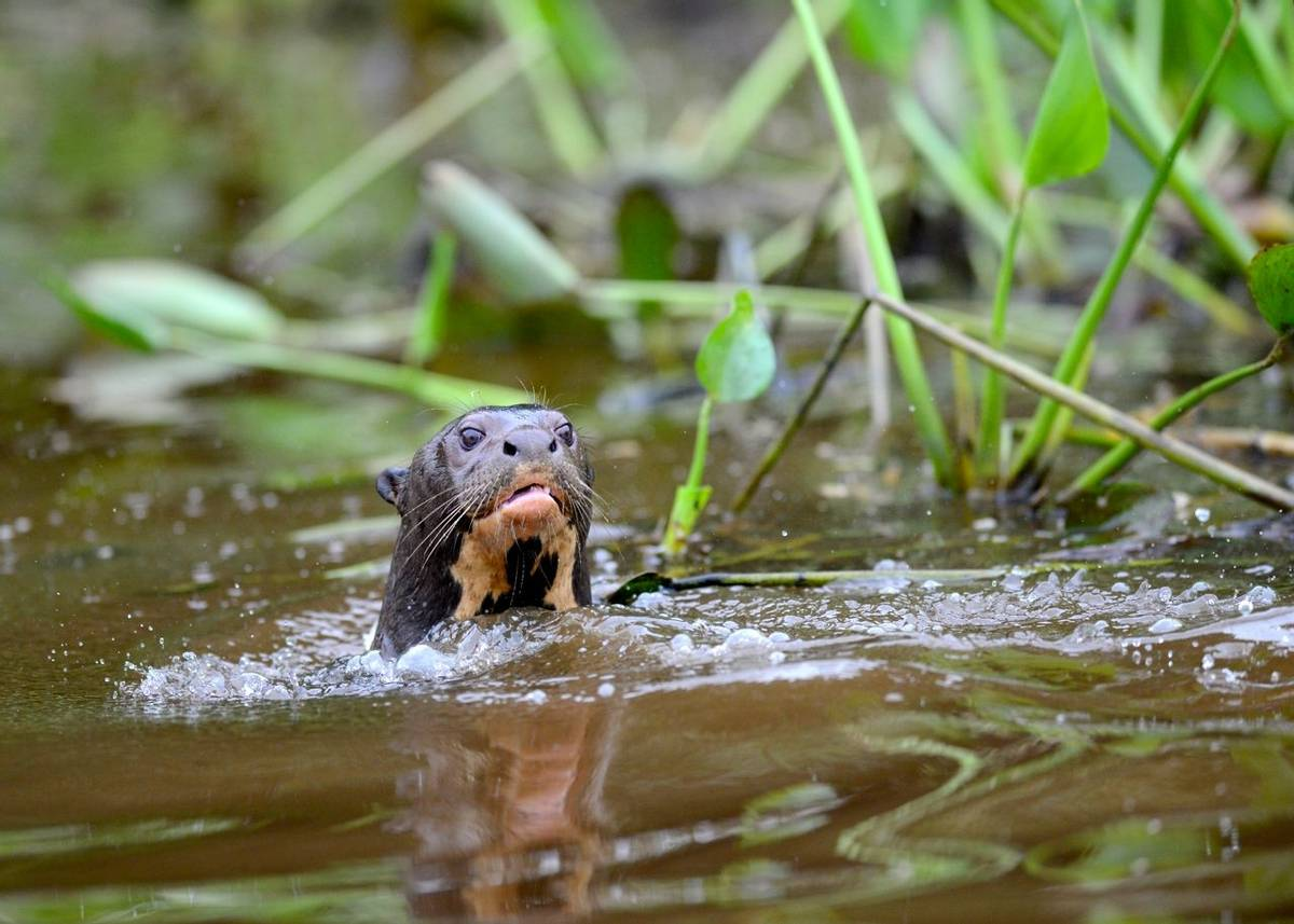 Giant River Otters (Stephen Woodham)