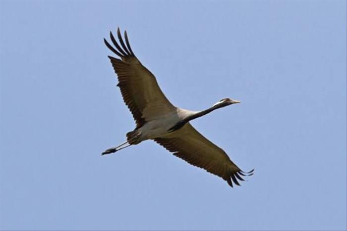 Demoiselle Crane (Alan Curry)