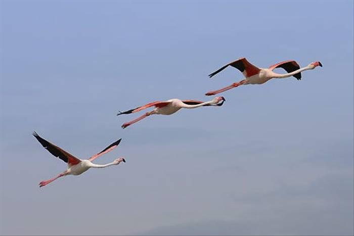 Greater Flamingoes (Ken Williams)