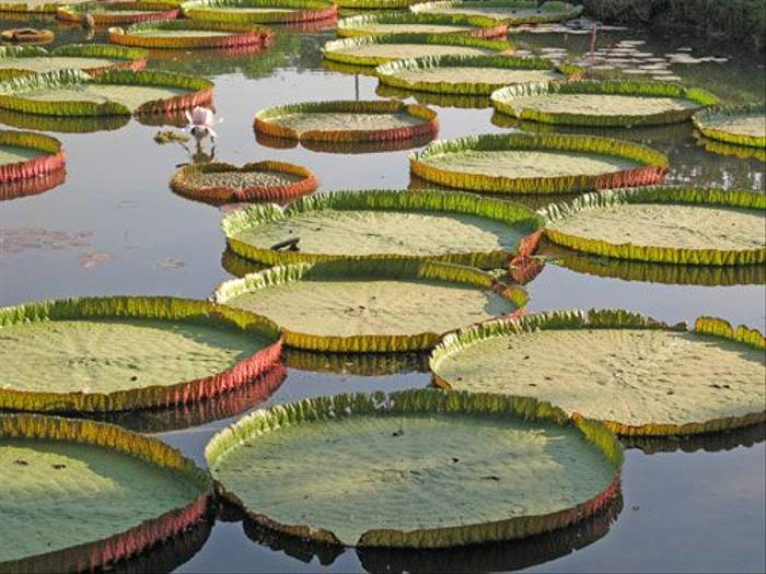 Giant Lily Pads (Wendy Ball)
