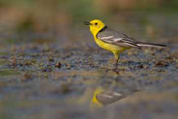 Citrine Wagtail Shutterstock 1096085135