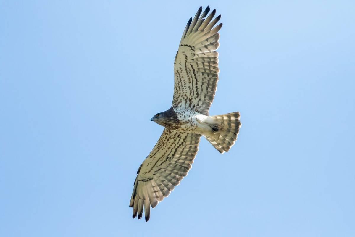 Short-toed Snake-eagle, Spain shutterstock_1337953334.jpg