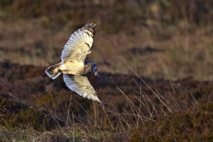 Short-eared Owl (Derek Mills)