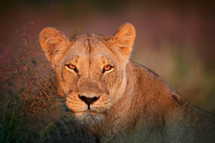 Lion, Kgalagadi, Botswana shutterstock_614579819.jpg