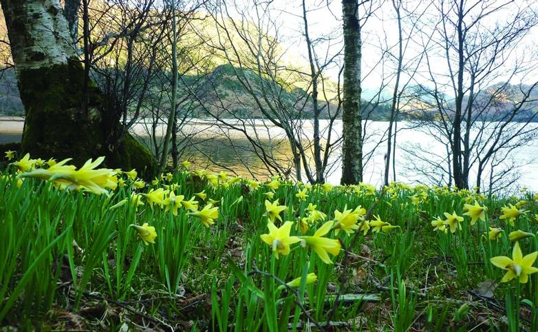 Derwent Bank Daffodils Glencoyne Bay.jpg