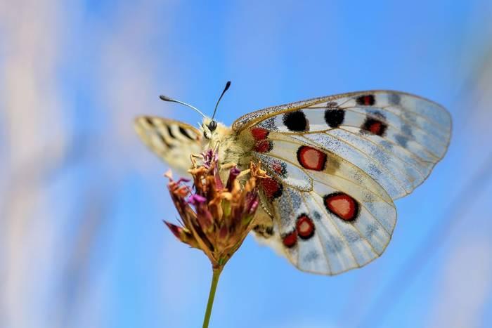 Apollo Butterfly, Spain shutterstock_1465196819.jpg