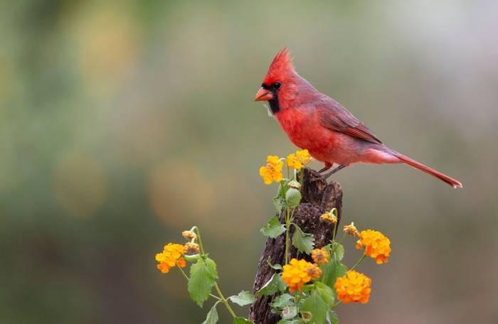 Northern Cardinal, Texas shutterstock_1105759571.jpg