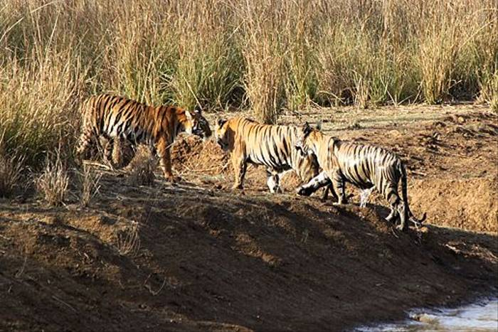 Tigress with mature cubs (Geoff Harwood)