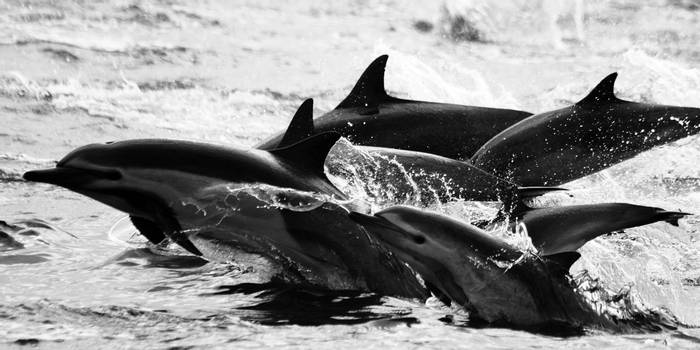 Common Dolphins (Dave Brotton)