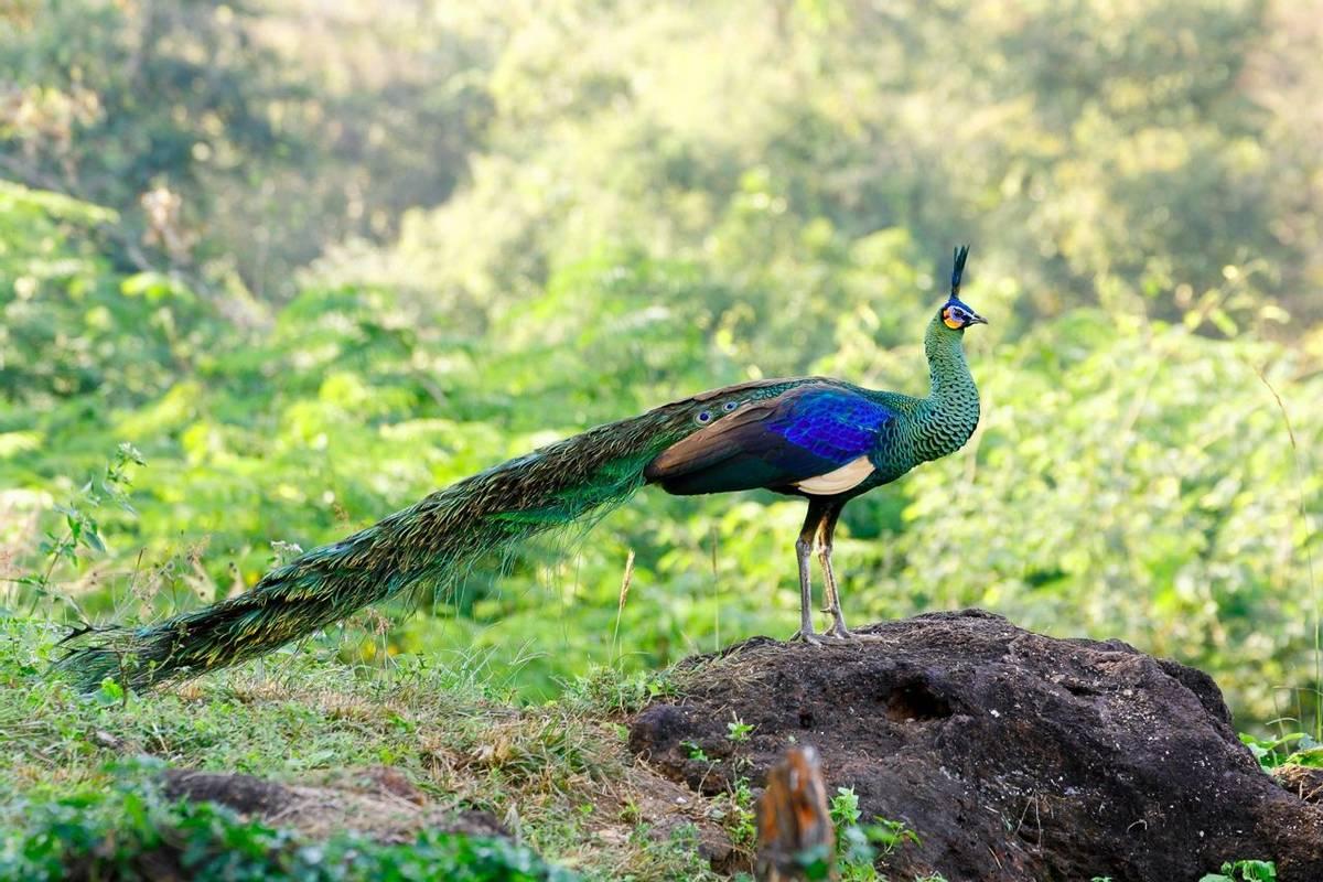 Green Peacock, Cambodia shutterstock_1079410289.jpg