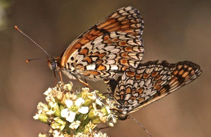 Melitaea phoebe - Knapweed Fritillary (Alan Outen)