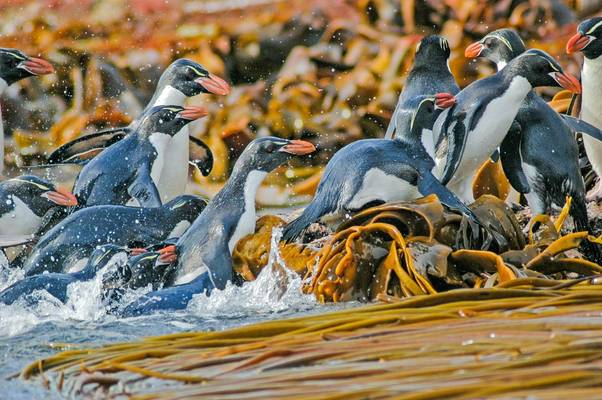 Snare'S Penguin, New Zealand Shutterstock 1082166530