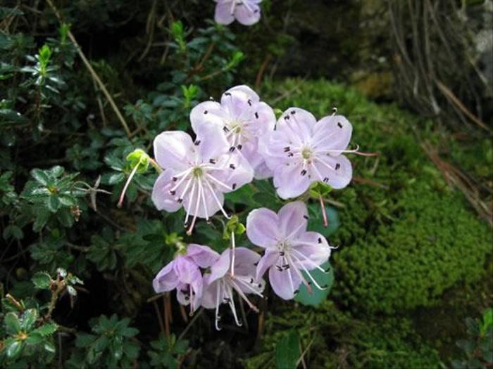 Rhodothamnus chamaecistus - Dwarf Alpenrose (Paul Harmes)