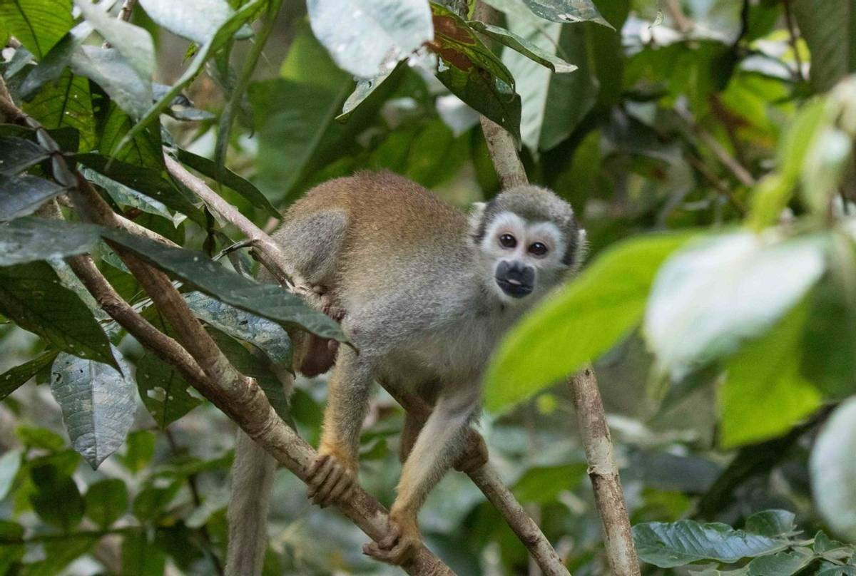 Squirrel Monkey (Chris Hutchinson)