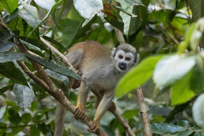 Squirrel Monkey (Chris Hutchinson)