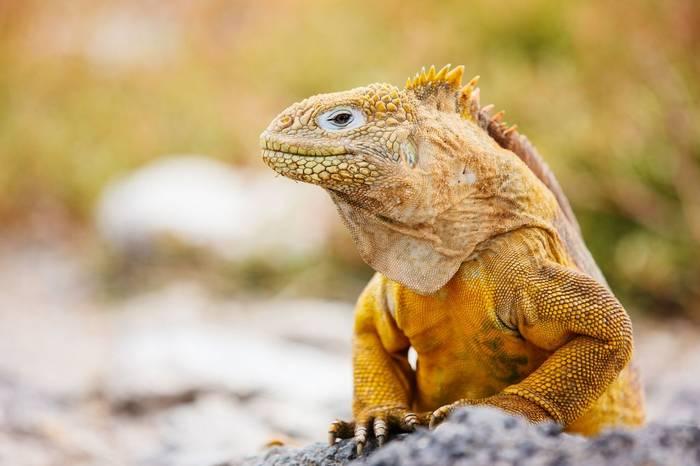 Galapagos Land Iguana Shutterstock 135816899