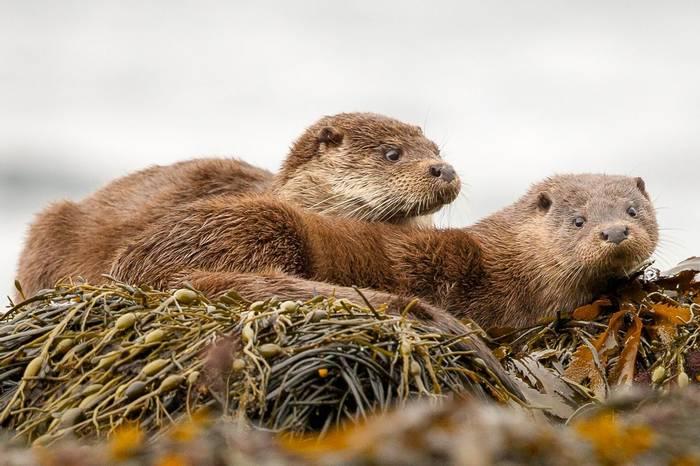 Otters-scotland-shutterstock_361574771.jpg