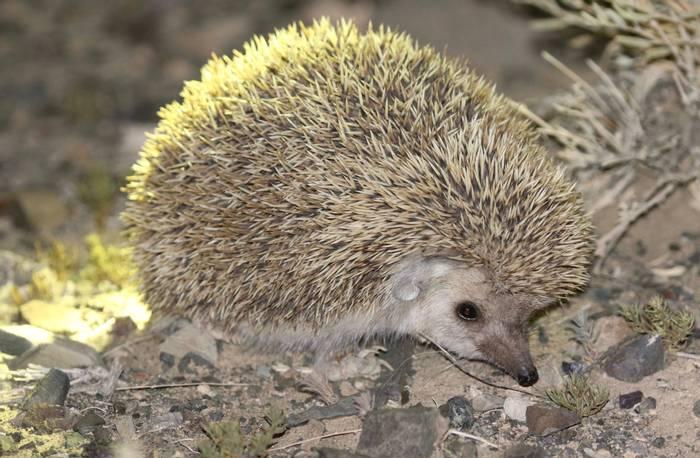 Long-eared Hedgehog (Adam Dudley).jpg