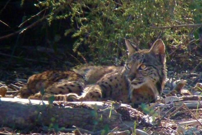 Iberian Lynx (Byron Palacios)