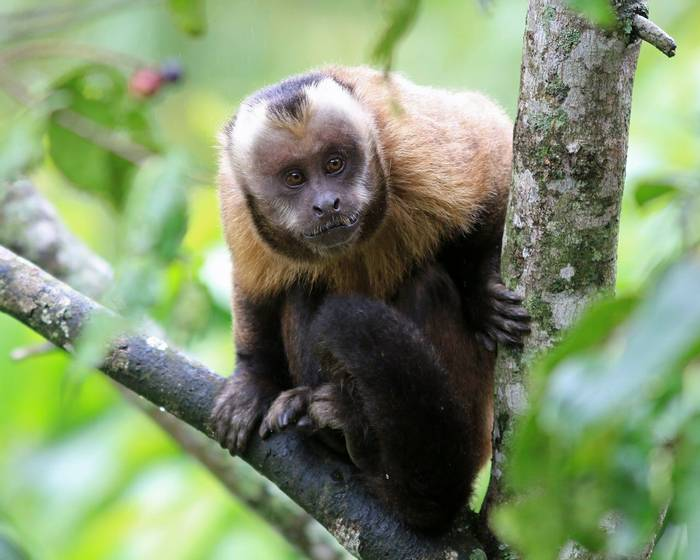Brown Capuchin Monkey (Robert Davidson).JPG