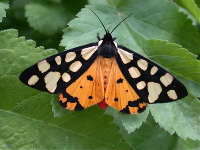 Cream Spot Tiger Moth (Alan Miller)