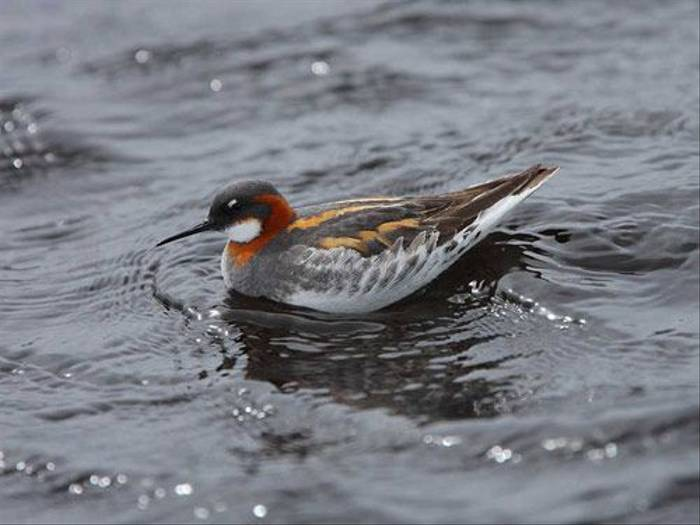 Red-necked Phalarope (Glyn Sellors)