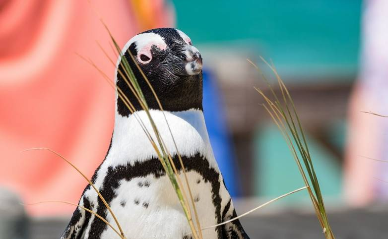 Africa-SouthAfrica-Cape&GardenRoute-Penguin-AdobeStock_194333832.jpeg