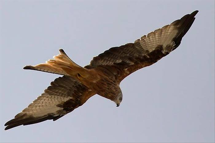 Red Kite (Colin Brown)