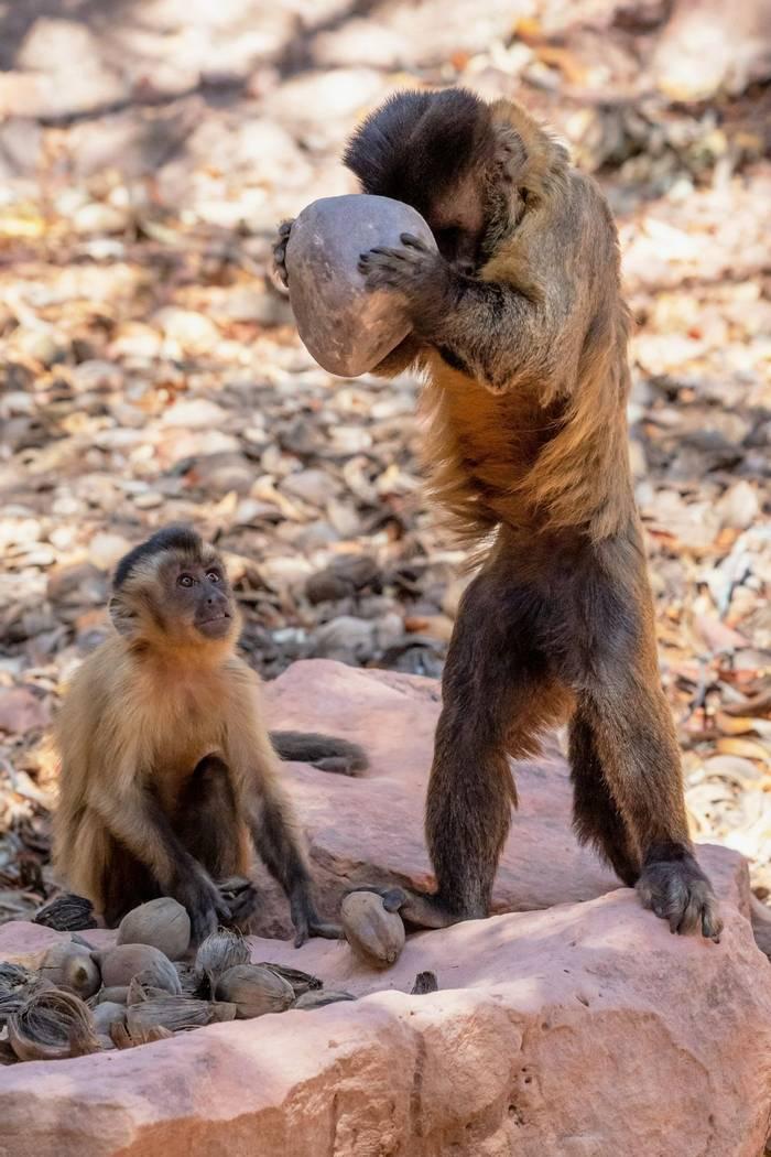 Bearded Capuchins (Paul Wild)