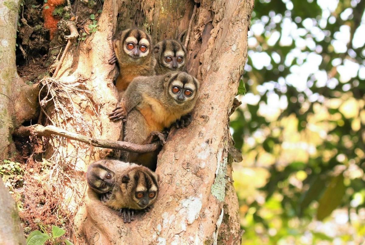Brumback_s Night Monkey (Robin Smith).JPG