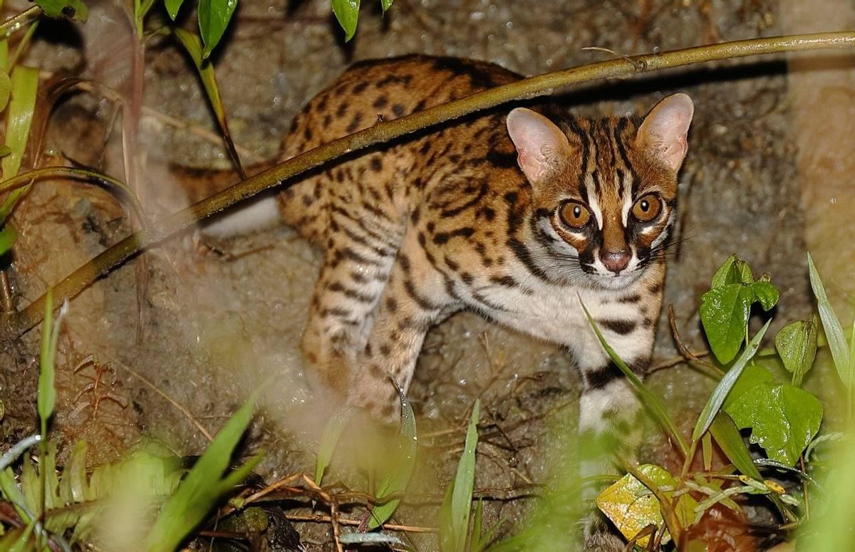 Leopard Cat (Andy Hawkins)