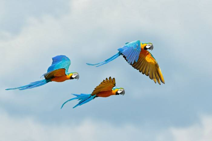 Blue-and-yellow Macaw shutterstock_1551082772.jpg