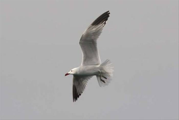 Audouin's Gull (Alan Outen)