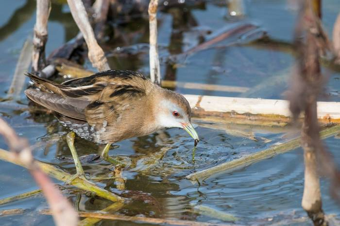 Little Crake female (Mike Vickers)