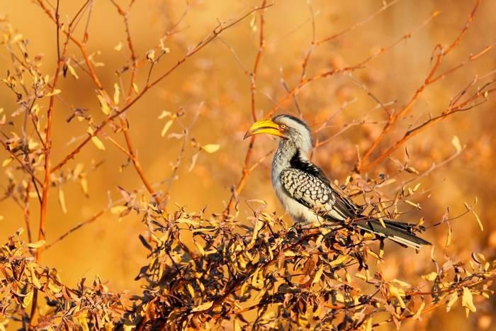 Southern Yellow-billed Hornbill, Hwange National Park, Zimbabwe shutterstock_370090052.jpg