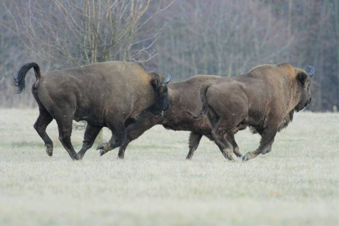 Bison (Jan Kelchtermans)