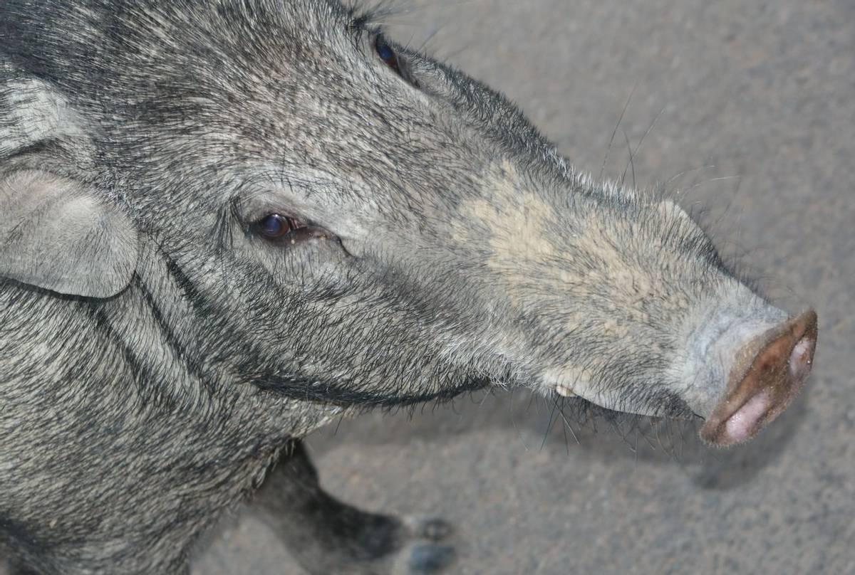 Wild Boar (Mary Brewer)