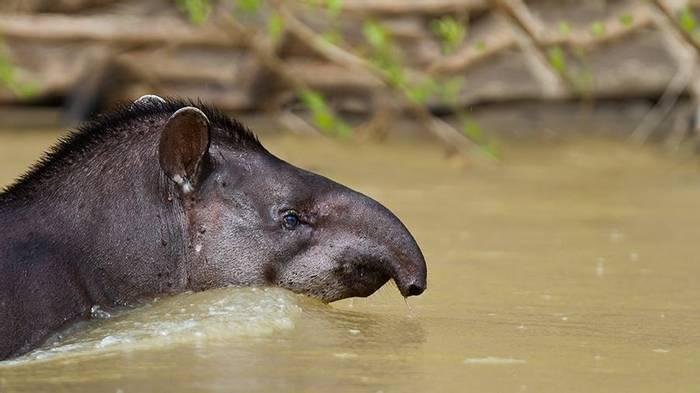 Brazilian Tapir (Tom Ambrose)