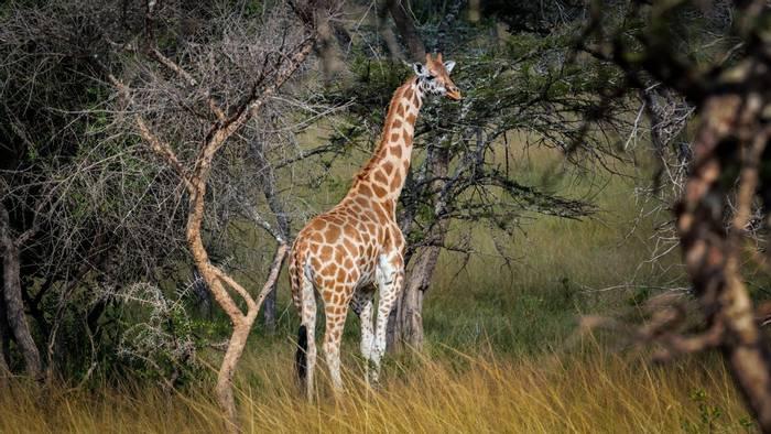 Rothchild's Giraffe, Uganda shutterstock_1444924388.jpg