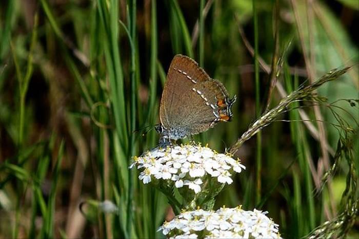 Blue-spot Hairstreak (Dave Smallshire)