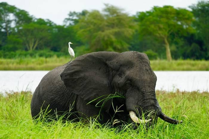 Elephant, Lake Malawi shutterstock_1108303454.jpg
