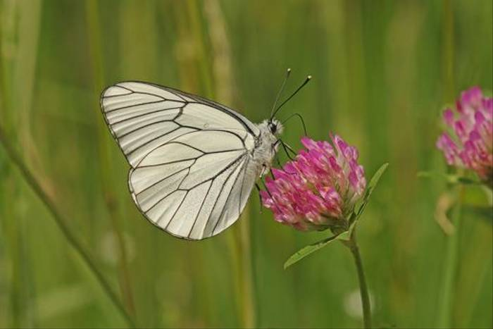 Black-veined White (David Morris)