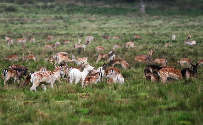 Fallow_Deer_Petworth_Sussex.jpg