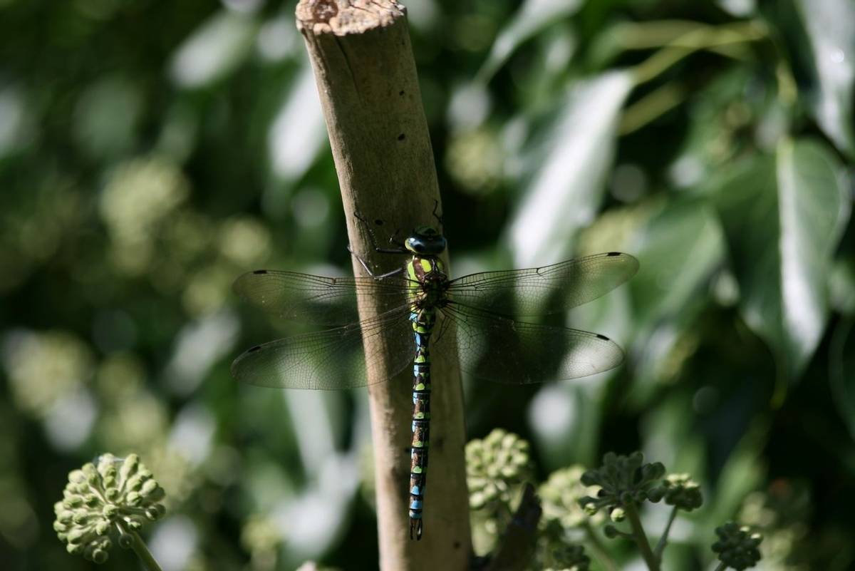 Common_Hawker_Dragonfly.JPG